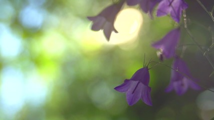 Fotoväggar - Tiny wild bell flowers over green bokeh background