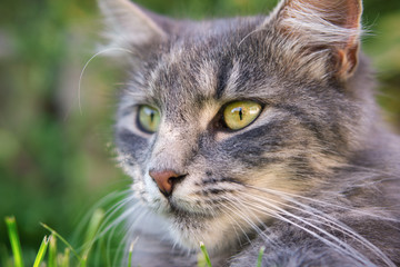 Close up photo from a cute domestic cat outdoor