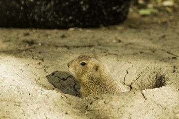 Gopher Peaking out of its Hole