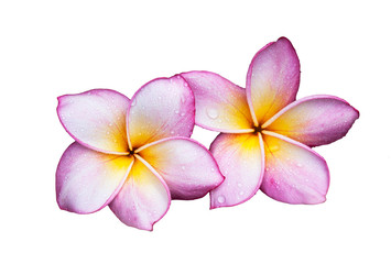 Plumeria flower on a white background