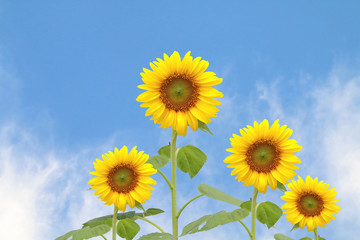sunflower on blur cloud on blue sky background