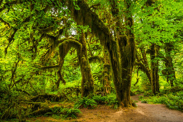 Hoh rain forest in Olympic national park, Washington