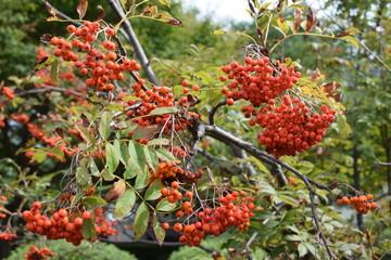 ナナカマド/山形県鶴岡市の森林でナナカマドを撮影した、秋イメージの写真です。