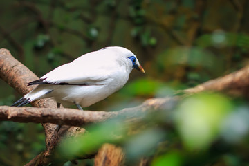 The Bali myna (Leucopsar rothschildi), also known as Rothschild's mynah, Bali starling, locally known as Jalak Bali, sitting on a tree branch