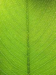 Green leaf background texture ( cassia fistula )