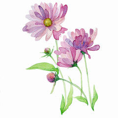 the fresh chamomiles watercolor summer flowers hand drawing on the paper isolated on the white background