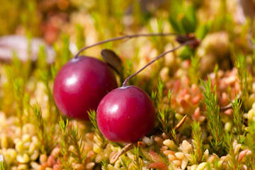 fresh ripe cranberries