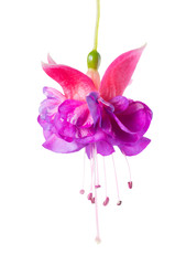 blooming beautiful single flower of lilac and pink fuchsia is is