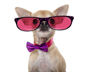 Chihuahua wearing a bow tie and glasses