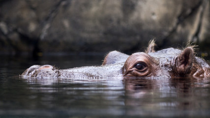 swimming hippo at water level