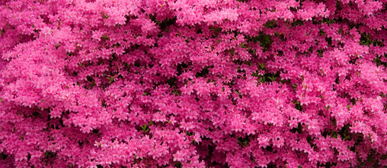Panorama of Pink Azaleas in Bloom