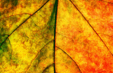 Maple leave texture