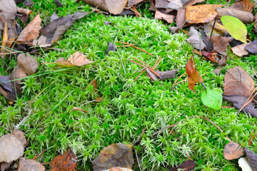 Green moss in autumn forest.