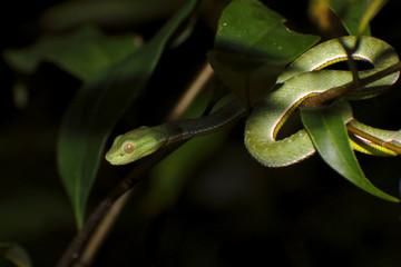 Vogel's green pitviper Trimeresurus vogeli