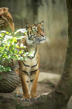 Closeup of a Siberian tiger also know as Amur tiger