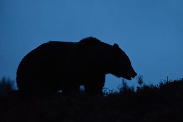 bear at twilight