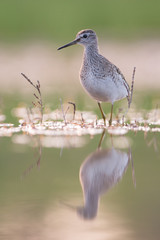 Wood sandpiper in the evening
