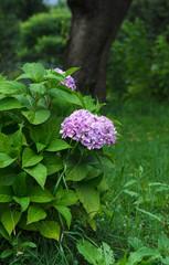 Hydrangea,Big-leaf Hydrangea