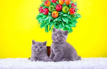 Poster Jaune Beautiful stylish purebred british cat. Animal portrait. Purebred cat is lying. Yellow background. Colorful decorations