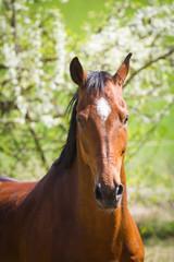 Pferdeporträt im Frühjahr, Hannoveraner Wallach