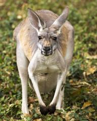 portrait of a kangaroo making eye contact