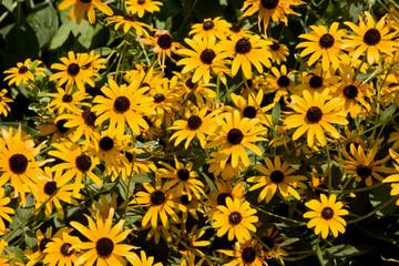 Printed kitchen splashbacks Sunflower Black Eyed Susans in the Sun