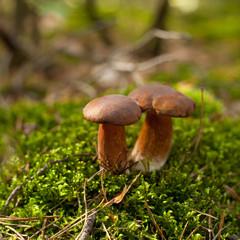 bolete wild mushroom