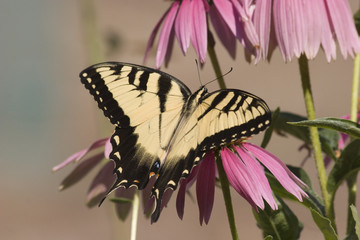 Tiger Swallowtail on Purple Coneflowers