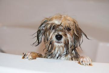 Hund Havaneser badet , welpe