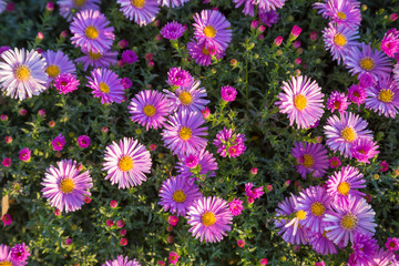 Magenta asters flowerbed