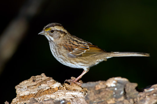 White-throated Sparrow standing on a log.