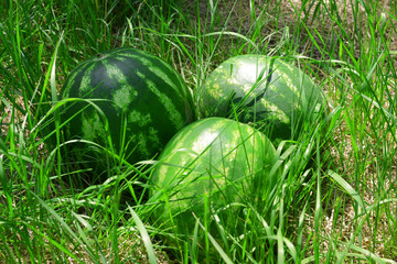 Fresh watermelons over green grass background