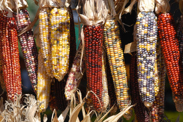 Indian colorful corn