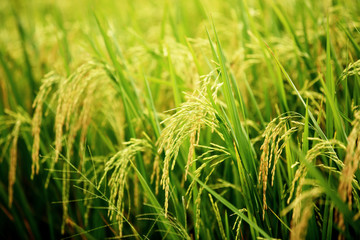 Close up of  organic rice paddy fields