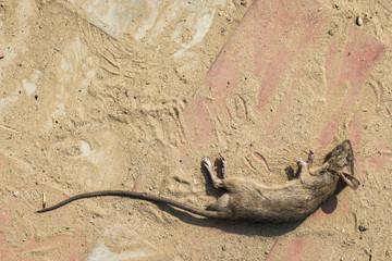 dead rat on floor