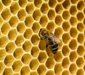 Foto op Canvas Bee bees