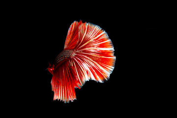 Betta fish or Siamese fighting fish on black background