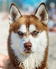 Siberian Husky with blue eye