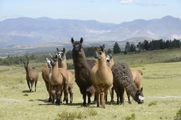 Llama family.
