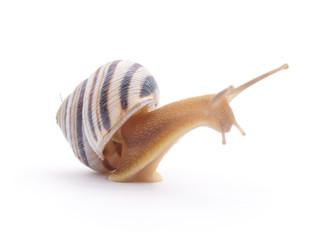 Striped snail.