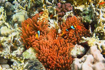 anemonenfische in roter anemone