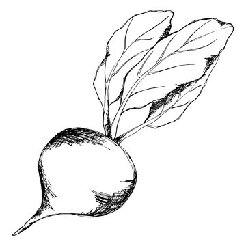 Black and white sugar beet vector line art isolated