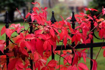 autumn colors / red vine - autumn colors