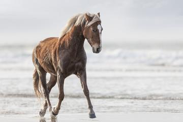 Brown horse running on a beach
