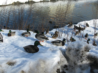 Mallards swimming in river and walking on snow, Sweden in March.