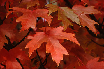 Sugar Maple Foliage