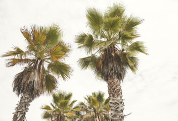 Amazing Palm tree in Beverly Hills, California - USA