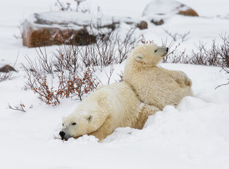 Polar bear with a cub in the tundra. Canada. An excellent illustration.