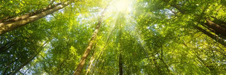 Fototapeten Wald Wald Panorama mit Sonnenstrahlen - Banner