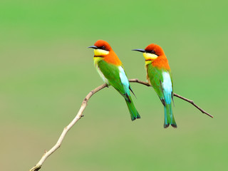 Bird (Chestnut-headed Bee-eaters) , Thailand